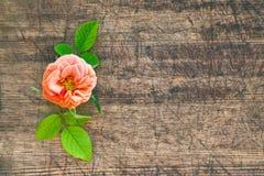 与叶子的桃红色花在黑暗的老木板,背景,难看的东西,葡萄酒种植一小上升了, 免版税库存照片