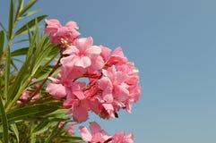 与叶子的桃红色花 免版税库存图片