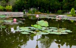 与叶子的桃红色莲花在水池 免版税库存图片