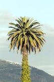 与叶子的棕榈树在树干 免版税库存图片