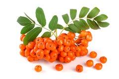 与叶子的橙色花揪在白色背景 库存图片