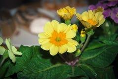与叶子的橙黄报春花 免版税库存图片