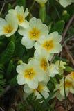 与叶子的橙黄报春花 库存照片