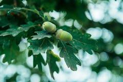 与叶子的橡子在树 免版税图库摄影