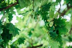 与叶子的橡子在树 免版税库存照片