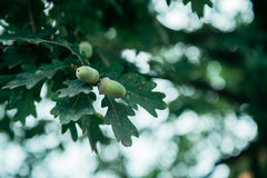 与叶子的橡子在树 库存照片