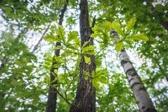 与叶子的橡木分支 免版税库存图片