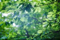 与叶子的橡木分支 图库摄影