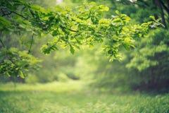 与叶子的橡木分支 库存照片