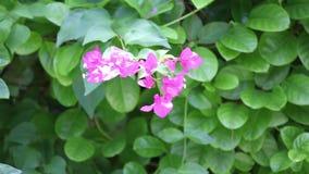 与叶子的淡紫色异乎寻常的花在庭院里 股票录像