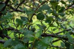 与叶子的特写镜头大树枝 免版税库存照片
