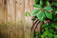 与叶子的狂放的葡萄分支在破旧的自然木板条在夏天 在葡萄酒褐色墙壁背景的叶子与拷贝 免版税库存照片