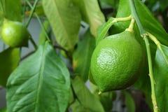 与叶子的生长绿色柠檬 免版税库存照片
