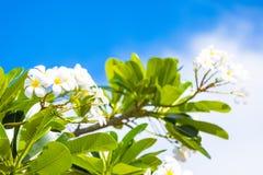 与叶子的白色和黄色赤素馨花花 库存照片
