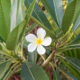 与叶子的白色和黄色赤素馨花花 免版税图库摄影