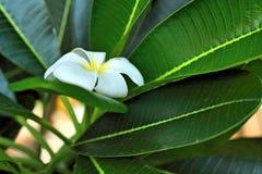 与叶子的白色和黄色赤素馨花花 库存图片