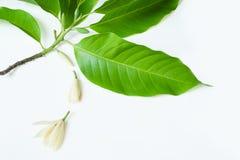 与叶子的白色Champaka花s,枝杈和buddings装饰 免版税图库摄影