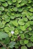 与叶子的白花 免版税库存照片