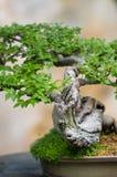 与叶子的盆景 免版税库存照片