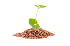 与叶子的糙米 免版税库存照片