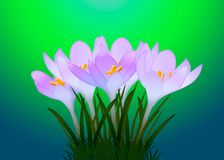 与叶子的紫色番红花在背景 库存照片