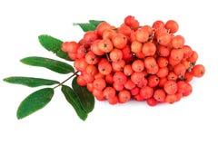 与叶子的红色花楸浆果在白色 免版税库存照片
