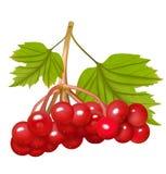 与叶子的红色荚莲属的植物莓果 也corel凹道例证向量 免版税库存照片