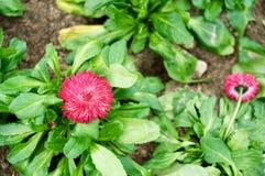 与叶子的红色雏菊 库存图片