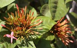 与叶子的红色ixora花灌木 库存照片