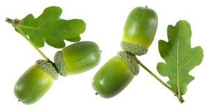 与叶子的绿色橡子 免版税库存图片