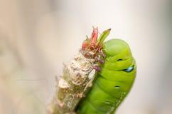 与叶子的绿色蠕虫 免版税库存图片