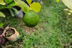 与叶子的美味的绿色柠檬在树 免版税库存图片