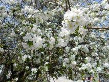 与叶子的苹果树绽放 免版税图库摄影