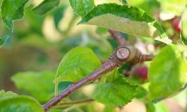与叶子的被修剪的苹果树分支可以 库存图片