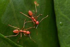 与叶子的透明红色蚂蚁 库存照片