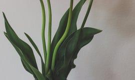 与叶子的郁金香茎在白色背景前面 免版税库存图片