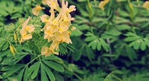 与叶子的黄色金鱼草属反对在绿色backround 免版税库存照片