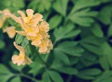 与叶子的黄色金鱼草属反对在绿色backround 库存图片