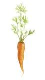 与叶子的水彩新鲜的红萝卜 库存例证