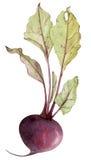 与叶子的水彩甜菜根 免版税库存照片