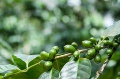 与叶子的绿色咖啡豆在a的分支 免版税库存图片