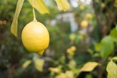与叶子的黄色新鲜的柠檬 库存照片