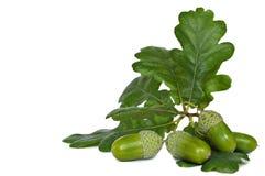 与叶子的绿色橡子 免版税图库摄影