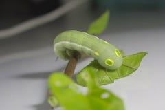 与叶子的绿色蠕虫 免版税库存照片