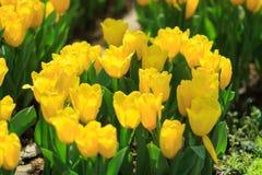 与叶子的黄色郁金香 免版税库存照片