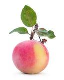 与叶子的Apple果子 免版税库存照片