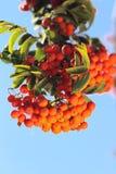 与叶子的Ashberry 免版税库存照片