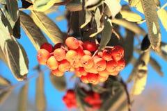 与叶子的Ashberry 库存照片