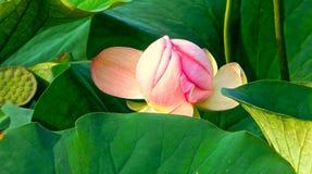 与叶子的Waterlily花 免版税库存照片