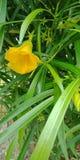与叶子自然背景墙纸的黄色夹竹桃花, 库存图片